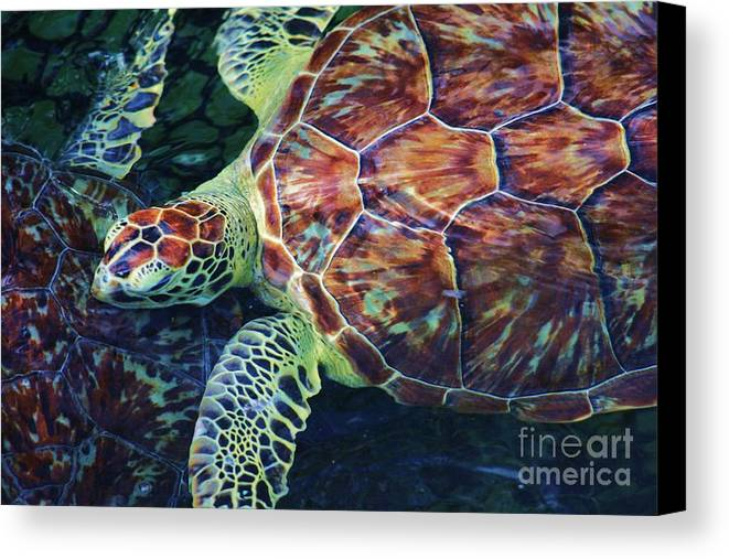 Turtle Canvas Print featuring the photograph Green Sea Turtle by Chuck Hicks