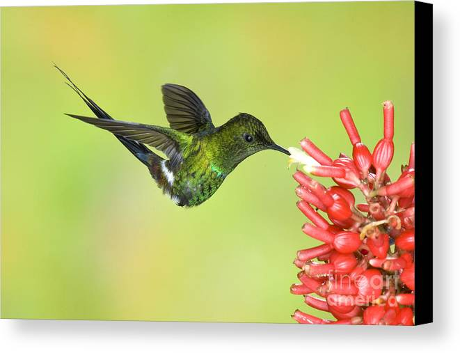 Animal Canvas Print featuring the photograph Green Thorntail Hummingbird by Anthony Mercieca
