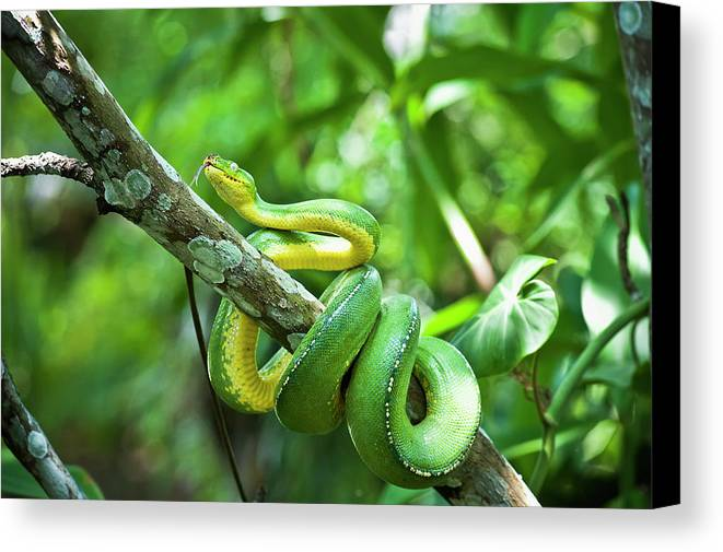 Branch Canvas Print featuring the photograph Green Tree Snake Dendrelaphis by David Kirkland