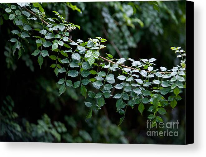 Green Canvas Print featuring the photograph Greens by Dan Holm