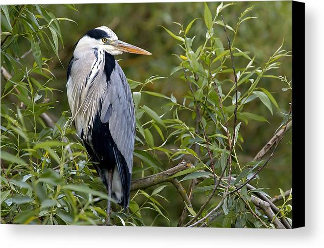 Heron Canvas Print featuring the photograph Grey Heron by Les OGorman