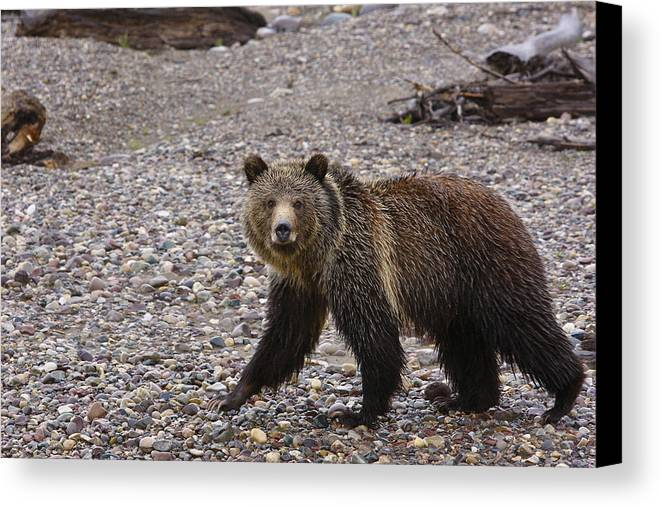 Grizzly Bear Canvas Print featuring the pyrography Grizzly Bear by Charles Warren