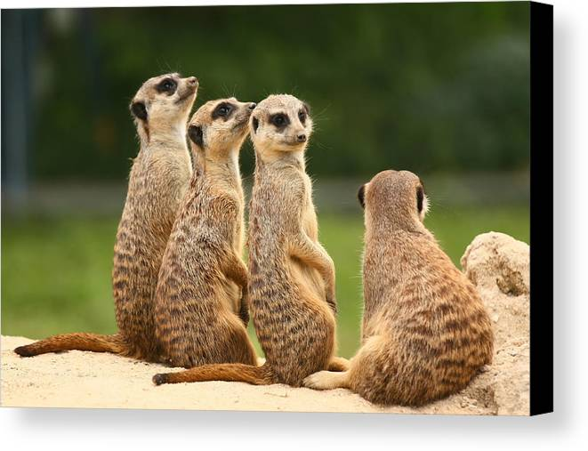 Meerkat Canvas Print featuring the photograph Group Of Meerkats by Jaroslav Frank