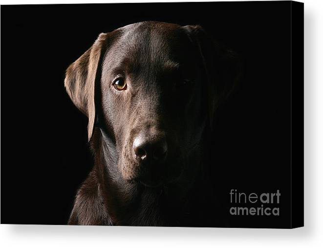Chocolate Canvas Print featuring the photograph Handsome Chocolate Labrador by Justin Paget