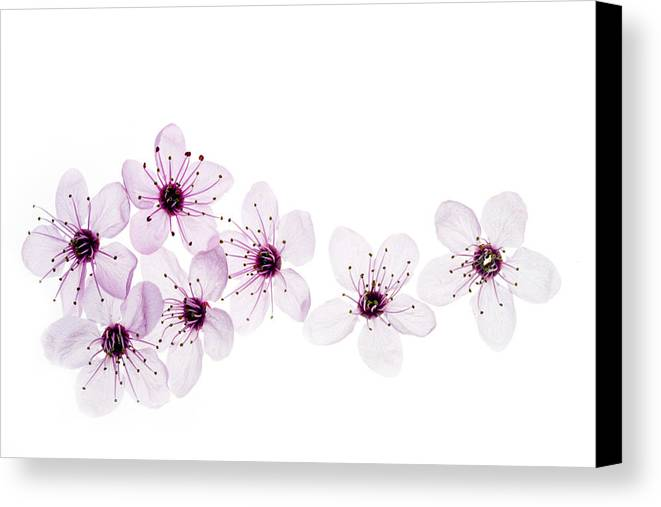 Cherry Blossoms Canvas Print featuring the photograph Happy Spring by Rebecca Cozart