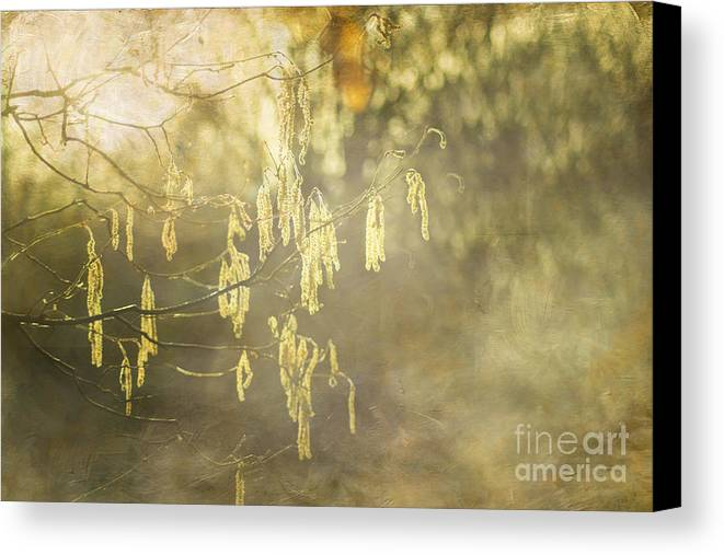 Catkins Canvas Print featuring the photograph Hazel Catkins by Michelle Orai