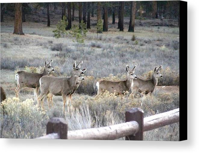 Deer Canvas Print featuring the photograph Heard Of Does by Renee Sinatra