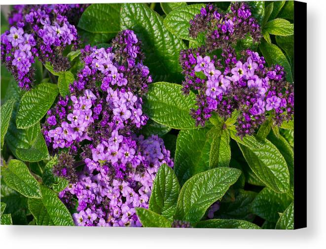 Agriculture Canvas Print featuring the photograph Heliotrope Flowers In Bloom by John Trax