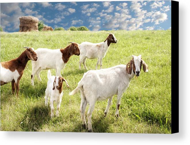 Goat Canvas Print featuring the photograph Homeward Bound by Amy Tyler