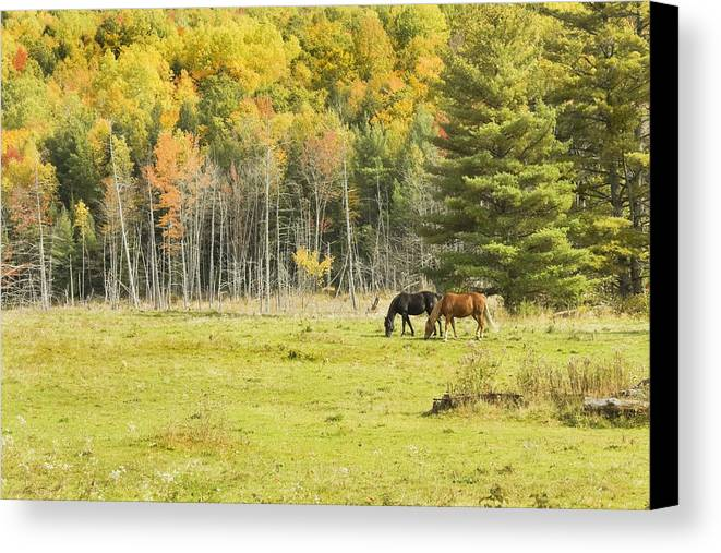 Horse Canvas Print featuring the photograph Horse Grazing In Field Autumn Maine by Keith Webber Jr
