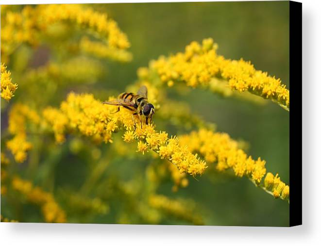 Fauna Canvas Print featuring the photograph Hoverfly Feeding by Mark Severn