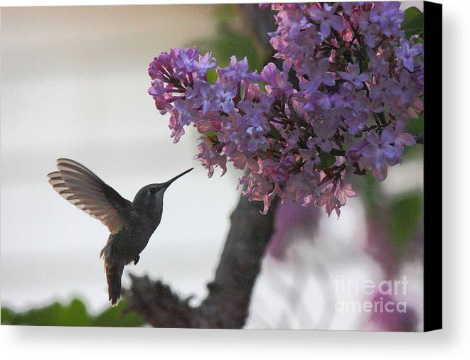 Hummingbird Canvas Print featuring the photograph Hummingbird by Tanya Shockman
