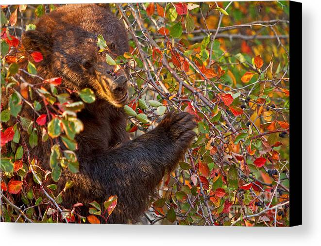 Black Bear Canvas Print featuring the photograph I Like Berries by Aaron Whittemore