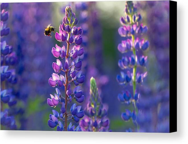 Lupine Canvas Print featuring the photograph In The Land Of Lupine by Mary Amerman