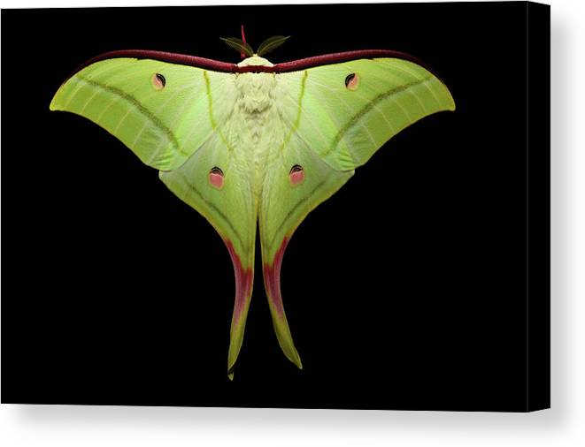 Indian Moon Moth Canvas Print featuring the photograph Indian Moon Moth by Tomasz Litwin