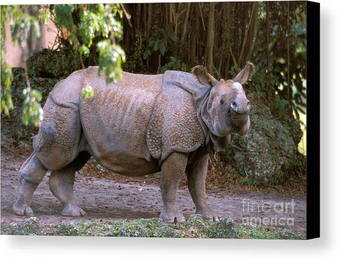 Indian Rhinoceros Canvas Print featuring the photograph Indian Rhinoceros by Mark Newman