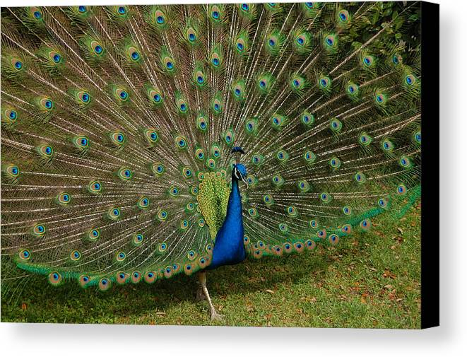 Peacock Canvas Print featuring the photograph Its All About Him by Suzanne Gaff