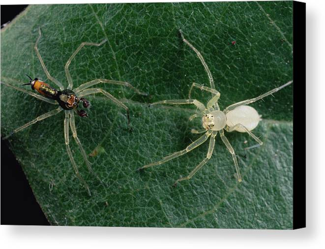 Feb0514 Canvas Print featuring the photograph Jumping Spider Colorful Male And Pale by Mark Moffett