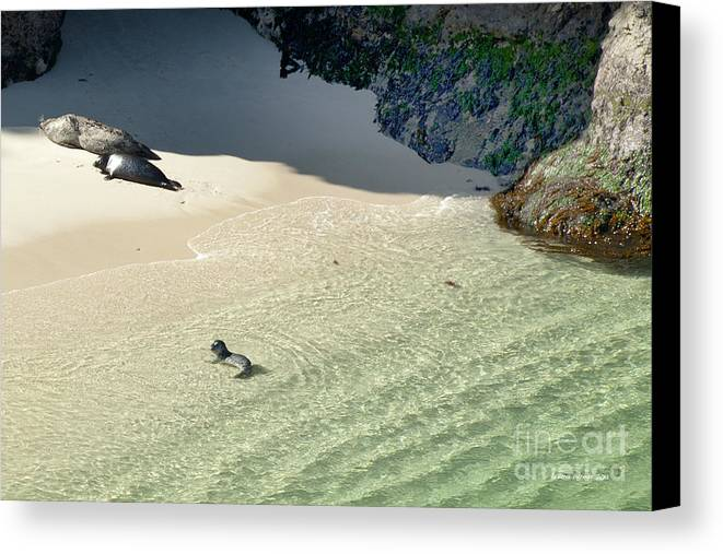 Big Sur Canvas Print featuring the photograph Just Born Baby Sea Lion Pup With Mom And Dad Napping On The Beach by Artist and Photographer Laura Wrede