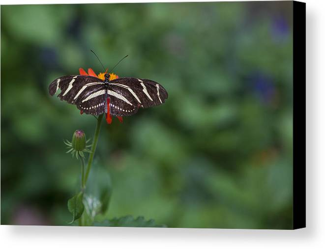 Butterfly Canvas Print featuring the photograph Kanapaha Butterfly I by Charles Warren