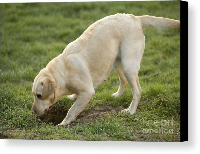 Labrador Retriever Canvas Print featuring the photograph Labrador Checking Hole by Jean-Michel Labat
