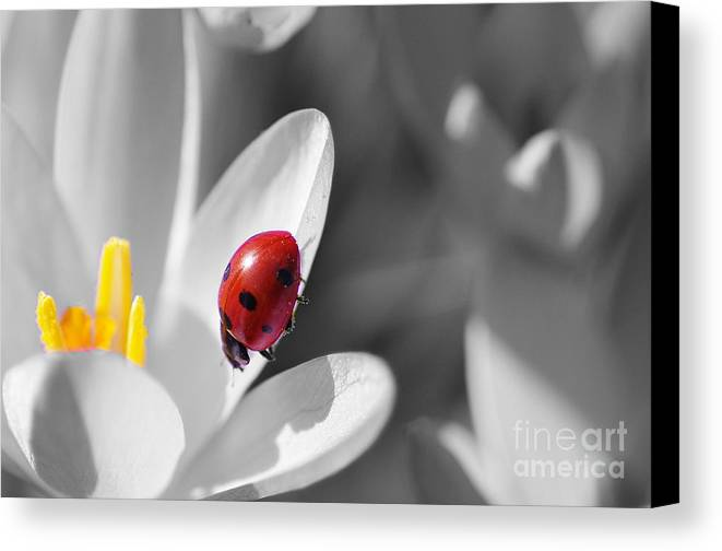 Animal Canvas Print featuring the photograph Ladybug Black And White In Colorkey by Tanja Riedel