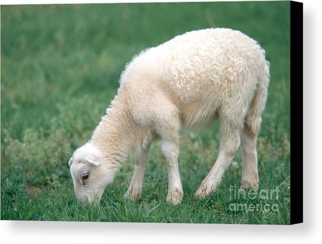 Animal Canvas Print featuring the photograph Lamb by David Davis