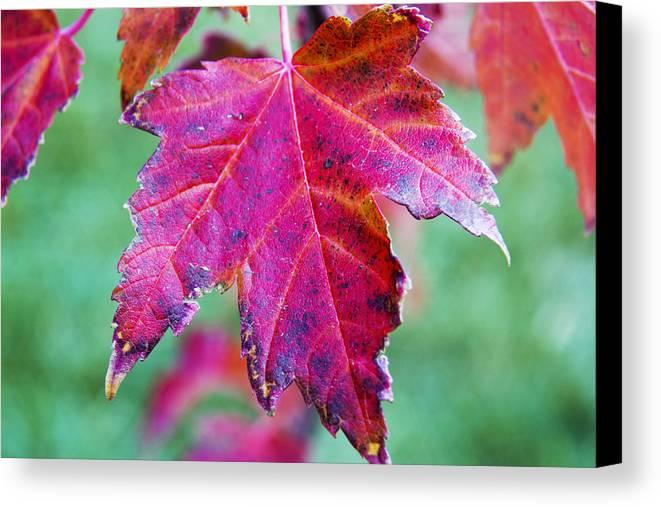 Leaves Canvas Print featuring the photograph Leaves On Fire by Dana Moyer