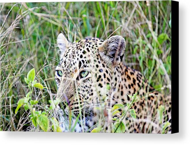 South Canvas Print featuring the photograph Leopard In The Grass by Evan Peller