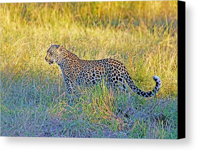 South Canvas Print featuring the photograph Leopard On The Prowl by Evan Peller