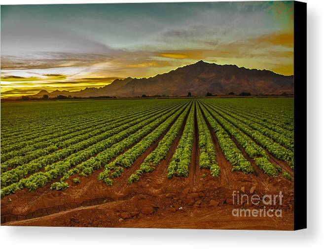 Winter Lettuce Canvas Print featuring the photograph Lettuce Sunrise by Robert Bales