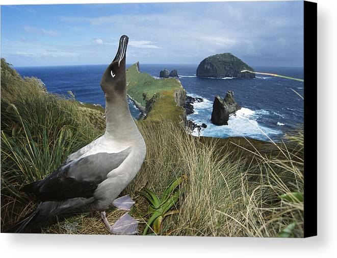 Feb0514 Canvas Print featuring the photograph Light-mantled Albatross Sky-pointing by Tui De Roy
