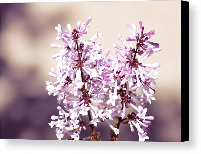 Lilac Canvas Print featuring the photograph Lilacs by Jennifer Coleman