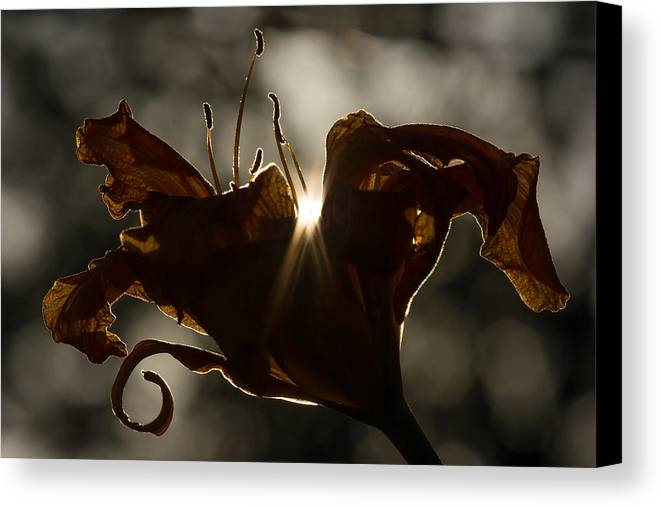 Lily Canvas Print featuring the photograph Lily's Light by Penny Meyers