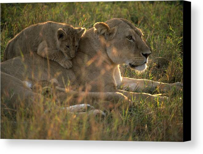 Lion Canvas Print featuring the photograph Lioness With Cub by Carl Purcell