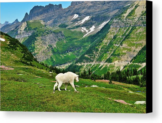Glacier National Park Canvas Print featuring the photograph Logan Pass Mountain Goat by Greg Norrell