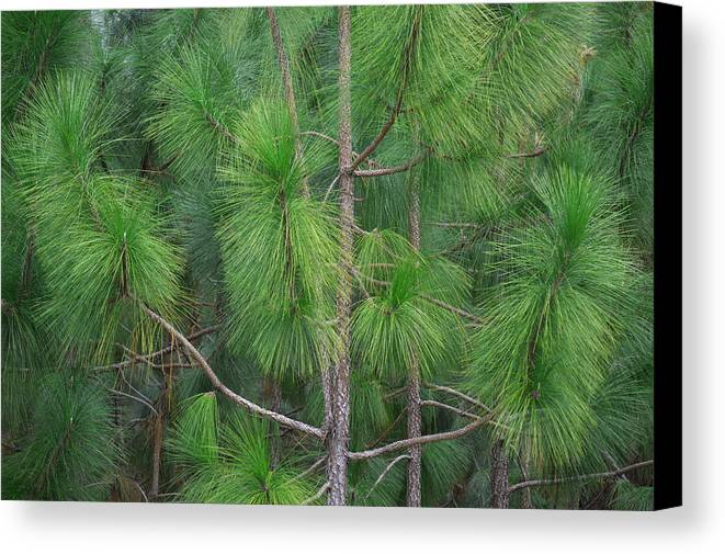 a overview of long leaf pine Overview of the advantages and disadvantages of  longleaf pine is planted to achieve many different  rows should provide long-term access for.