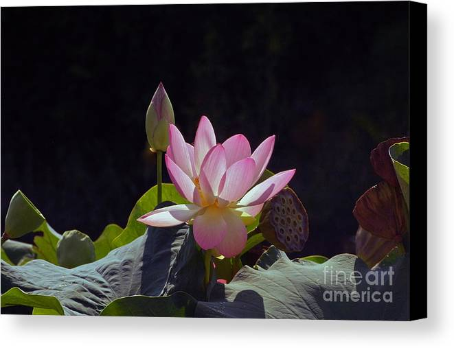 Lotus Blossom With Bud And Seed Pods Canvas Print featuring the photograph Lotus Enchantment by Byron Varvarigos