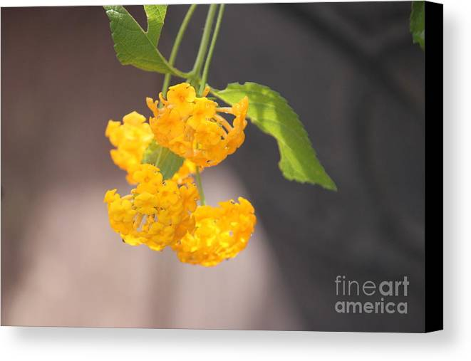 Lantana Canvas Print featuring the digital art Lovely Lantana by Regina Barton
