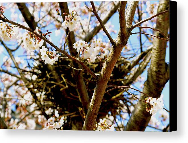 Magpie Canvas Print featuring the photograph Magpie Nest In Cherry Tree by Emily Grace