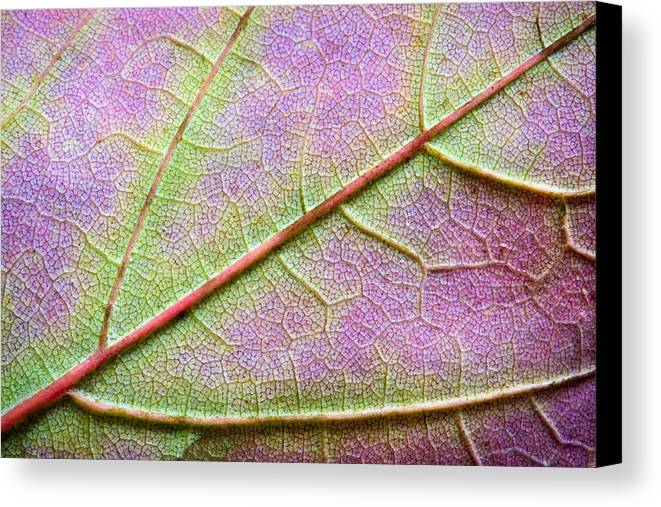 3scape Photos Canvas Print featuring the photograph Maple Leaf Macro by Adam Romanowicz