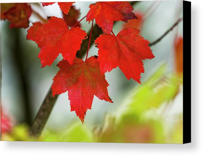Red Canvas Print featuring the photograph Maple Leaves Show Off Their Autumn Hues by Robert L. Potts