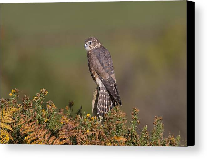 Merlin Canvas Print featuring the photograph Merlin by Nigel Spencer