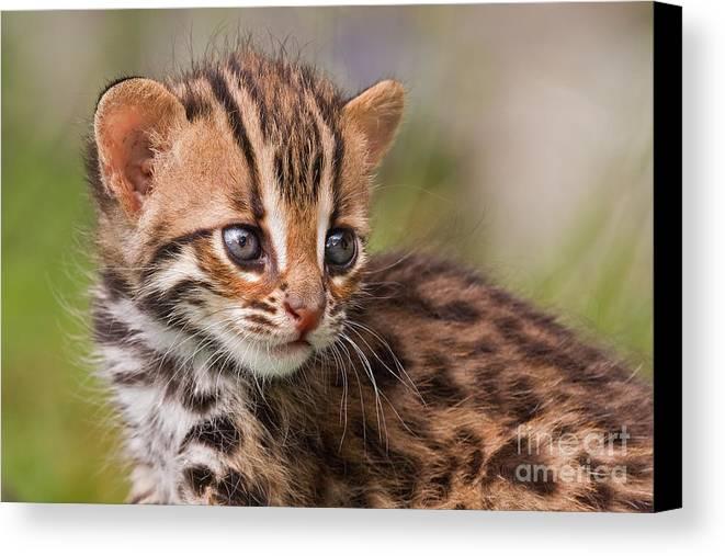Leopard Canvas Print featuring the photograph Miniature Leopard by Ashley Vincent