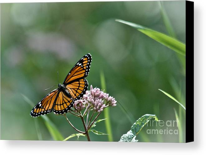Monarch Canvas Print featuring the photograph Monarch Perch by Cheryl Baxter