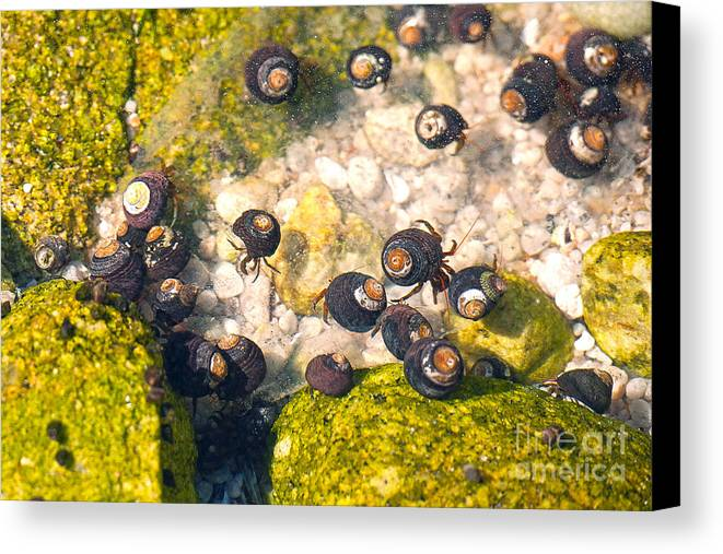 Monetery Bay Canvas Print featuring the photograph Monterey Bay Tide Pools by Artist and Photographer Laura Wrede