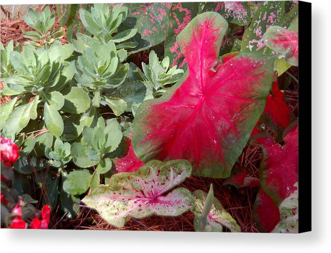 Caladium Canvas Print featuring the photograph Morning Rain by Suzanne Gaff