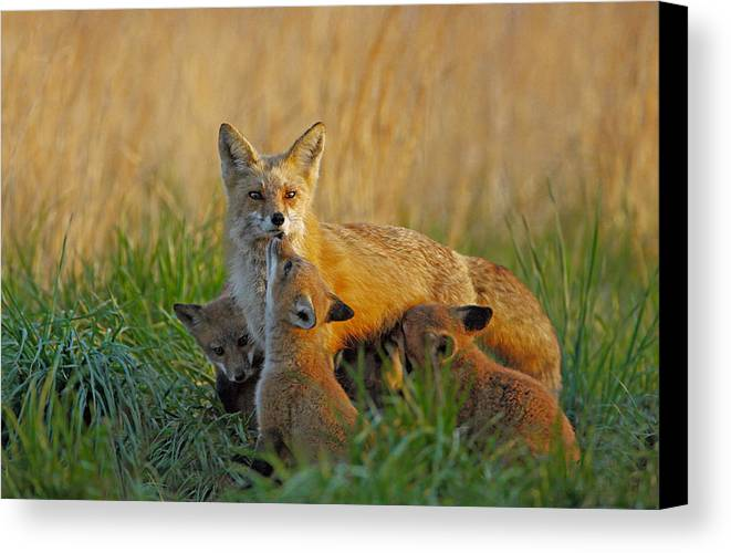 Fox Canvas Print featuring the photograph Mother Fox And Kits by William Jobes