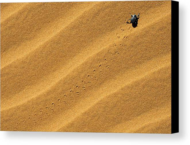 Beetle Canvas Print featuring the photograph Namib Desert Beetle by Marco Bottigelli