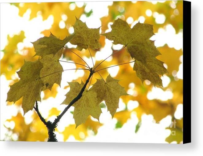 Leaves Canvas Print featuring the photograph Nature's Umbrella by Frank Townsley